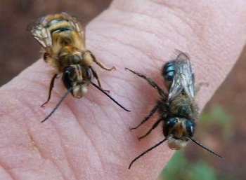 Two species of wild mason bees.