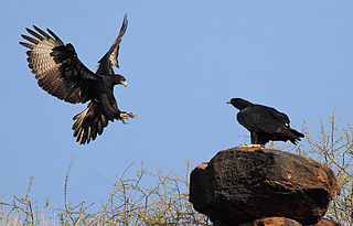 African Black Eagle, Verraux's Eagle
