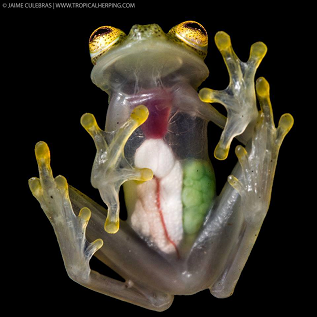 Jaime Culebras offers a spectacular photograph of a gravid female Reticulated Glass Frog