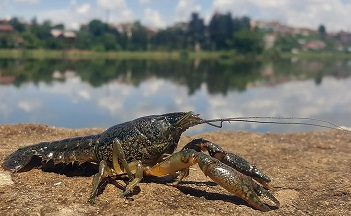 Marbled-Crayfish.jpg