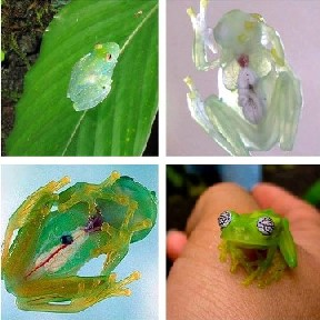 Glass Frogs!