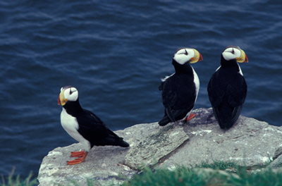 Horned Puffins, courtesy USFWS